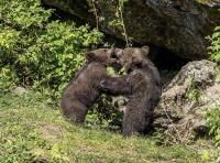 Die beiden Bärenkinder sind rund sieben Monate alt