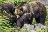 Die Bärenkinder mit ihrer Mutter Luna