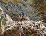 Die Wanderfalken im Höllbachgespreng waren mit ihrer Brut erfolgreich. Vor knapp zwei Wochen sind drei Jungvögel erstmals aus dem Horst geflogen (Foto: Michael Pscheidl / Nationalparkverwaltung Bayerischer Wald).