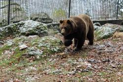Nationalpark-Bär Benny ist wohlbehalten ins Tier-Freigelände zurückgekehrt. Nach einigen Tagen Eingewöhnungszeit im bisherigen Trenngehege darf er in das neu erbaute, sehr geräumige Ausweichgehege einziehen. (Foto: Gregor Wolf/Nationalpark Bayerischer Wald)