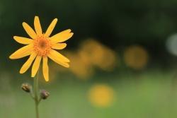 Eine der seltenen Pflanzen, die direkt von der Schachtenbeweidung profitiert, ist die Arnika.  (Foto: Julia Piser)