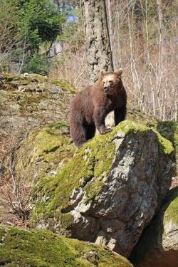 Der Nachwuchs beobachtet Bärenpapa Benny erstmal nur aus der Entfernung. (Foto: Elke Ohland/Nationalpark Bayerischer Wald)