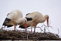 Die Störche sind wieder da auf dem Dach der Grafenauer Nationalparkverwaltung. Auf der Homepage des Nationalparks lassen sich die Vögel nun via Webcam beobachten. (Foto: Thies Hinrichsen/Nationalpark Bayerischer Wald)