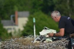 Nach wenigen Minuten konnte Markus Schmidberger, der mit der Grafenauer Drehleiter zum Nest hochgefahren wurde, die Beringung beendet. Währenddessen lag eine Decke über den Vögeln, um sie zu beruhigen. (Foto: Thies Hinrichsen/Nationalpark Bayerischer Wald)