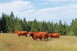 Die kleine Herde Rotes Höhenvieh darf die nächsten Wochen nun auf dem Ruckowitzschachten verbringen. (Foto: Gregor Wolf/Nationalpark Bayerischer Wald)