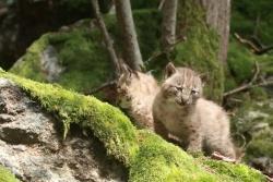 Seit vergangenem Wochenende zeigen sich die Jungtiere den Besuchern des Nationalparkzentrums Lusen.  (Foto: Peter Auerbeck)