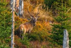 Begeben Sie sich bei den Mehrtagestouren im Nationalpark auf die Suche nach den imposanten Rothirschen. (Foto: Rainer Simonis/Nationalpark Bayerischer Wald)
