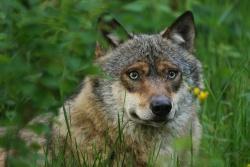 Vermutlich sechs Wölfe sind aus ihrem Gehege im Nationalparkzentrum Falkenstein entkommen. (Foto: Rainer Simonis/Nationalpark Bayerischer Wald)