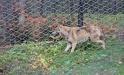 Von der Fangaktion noch etwas benommen, erkundet die Wölfin das Trenngehege. (Bild: Nationalpark Bayerischer Wald)