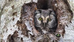 Hinter dem ersten Türchen des Nationalpark-Adventskalenders verbirgt sich ein in freier Natur aufgenommener Raufußkauz. (Foto: Rainer Simonis/Nationalpark Bayerischer Wald)