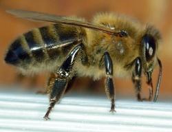 Mit der Ökologie der Dunklen Honigbiene beschäftigt sich Dr. Gabriele Soland in ihrem wissenschaftlichen Vortrag am Donnerstag, 1. Februar, um 19 Uhr,  im Haus zur Wildnis. (Foto: Emmanuel Boutet / Nationalpark Bayerischer Wald)