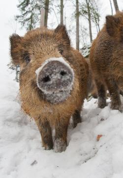 Wie Wildschweine und andere Tiere über den Winter kommen, wird bei einer Nationalpark-Wanderung am 10. Februar erklärt. (Foto: Sascha Rösner/Nationalpark Bayerischer Wald   –  Freigabe nur in Verbindung mit dem Veranstaltungshinweis)