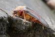 Der Zottenbock ist dank der jahrzehntelangen, natürlichen, vom Menschen unbeeinflussten Waldentwicklung im Nationalpark Bayerischer Wald wieder regelmäßig anzutreffen. (Foto: Rainer Simonis/Nationalpark Bayerischer Wald)