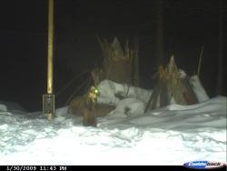 Obwohl die  aufgestellten Fotofallen dem Monitoring der freilebenden Luchse dienen soll, lassen sich auch andere Waldbewohner, hier ein Marder, vor der Kamera blicken.