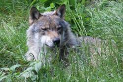 "Foto ""Wolf"": Peter Auerbeck"
