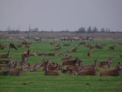 Im Naturschutzgebiet Oostvaarderplassen nahe Amsterdam leben Reh- und Rotwild, Auerochsen und Wildpferde sowie Graugänse beieinander und nutzen gemeinsam das Grasland. Foto: Dr. Vera