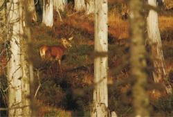 Hirsch in der kanadisch anmutenden Waldwildnis des Nationalparks Bayerischer Wald.Foto: Rainer Simonis