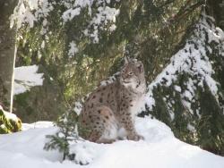 Luchs im Schnee.Foto: Steffi Jaeger