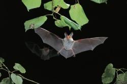 Ihr gutes Hörvermögen erleichtert der Bechsteinfledermaus, Insekten zwischen den Blättern im Geäst zu orten und erfolgreich zu erbeuten.Foto: Dietmar Nill