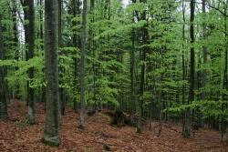 Der Buchenaustrieb im Nationalpark Bayerischer Wald erfolgt bereits drei Wochen früher als noch vor 35 Jahren.Foto: Rainer Pöhlmann