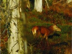 Den Rothirsch im Nationalpark während der Hirschbrunft zu erleben, ist ein unvergessliches Naturerlebnis. Foto: Rainer Simonis