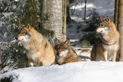 Wölfe im Tier-Freigelände des Nationalparks Bayerischer Wald