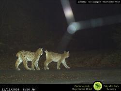 Die zwei Jungtiere der Luchsin Felis im Jahr 2009. Bis zum Frühjahr bleiben die im Sommer geborenen Luchse bei ihrer Mutter. Dann suchen sie sich eigene Reviere.