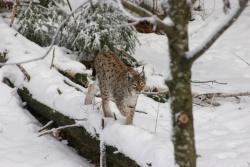 Luchs im Tierfreigelände des Nationalparkzentrum Lusen (Foto Rainer Pöhlmann)