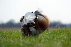 """Die im Bestand stark bedrohten Großtrappen gelten als die schwersten flugfähigen Vögel der Erde und sind wie die Auerhühner sehr scheu und störempfindlich. Wegen des ähnlichen Balzgehabes der Hähne werden sie auch gerne als """"Auerhuhn der Ebene"""" bezeichnet."""