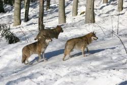 Wölfe sind sehr gute Langstreckenläufer, die auf Grund ihrer Energie sparenden Gangart - sie setzen den Hinterlauf millimetergenau in den Abdruck des Vorderlaufs- pro Tag bis zu 75 Kilometer zurücklegen können.