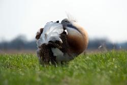 """Balzende Großtrappen-Hähne sind ein echtes Naturschauspiel. Um den Kontrahenten auf Abstand zu halten und den Hennen zu imponieren, stülpen sie förmlich ihre Flügel und Schwanzfedern """"über Kopf"""" und gleichen in dieser Haltung einem großen weißen Ball"""
