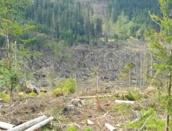 Mit Zustimmung des Kommunalen Nationalpark-Ausschusses werden an der Grenze zum Nationalpark Šumava in unbringbarer Lage ca. 100 Hektar geworfene Fichten nicht aufgearbeitet und zum 01.11.2011 als Naturzone ausgewiesen. Foto: Franz Baierl