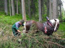 Wo schwere Maschinen versinken würden, rücken Pferde das Holz aus den Windwurf- und Borkenkäferflächen. Foto: Franz Baierl