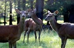 """Wenn von Hirschen die Rede ist, zählen auch die wegen des fehlenden Geweihs als """"Kahlwild"""" bezeichneten weiblichen Tiere dazu.  Foto: Alice Alteneder"""