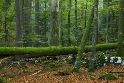 Der Märchenwald von Corcova Uvala in Kroatien zählt zu den wenigen echten Urwaldrelikten in Europa und erinnert in seiner Zusammensetzung an alte Bergmischwälder im Nationalpark Bayerischer Wald.Foto: Markus Mauthe