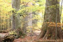 Der Wert ungenutzter Wälder wird dem Menschen meistens erst dann bewusst, wenn er wie hier im Watzlikhain bei Zwieslerwaldhaus im Nationalpark Bayerischer Wald vor 500 Jahre alten Urwaldriesen steht.