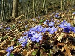 Das Leberblümchen bringt als einer der ersten Frühjahrsboten schon zeitig im Jahr Farbe in den Wald(Foto: Rudi Ritt)