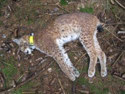 Unweit eines mit dem selben Kontaktgift präparierten toten Rehbocks wurde die von der Nationalparkverwaltung besenderte Luchsin Tessa am 13.03.2012 tot aufgefunden.Foto: Nationalparkverwaltung