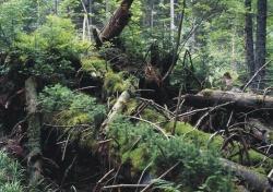 Wilde Waldnatur im Nationalpark Bayerischer Wald (Foto: Rainer Pöhlmann).