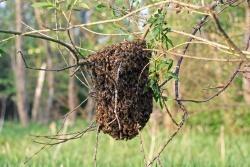 Um ein einen neuen Staat zu bilden, schwärmt die Königin aus und sammelt einen Teil des alten Volkes um sich. Diese Völker können vom Imker eingefangen werden. In freier Wildbahn können sich Bienen in Baumhöhlen einnisten.