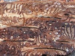 Das Foto zeigt das typische Fraßbild der Buchdrucker in der Bastschicht unter der Rinde mit deutlich sichtbaren Verdickungen am Ende der Fraßgänge, den sogenannten Puppenwiegen, mit verpuppten Käfern