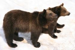 """Ganz einfach """"Servus"""" scheinen die beiden Braunbären am Tag vor ihrer Abreise in den Zoo von Hoyerswerda ihrem Publikum im Tier-Freigelände zu sagen (Foto: R. Pöhlmann)."""
