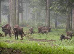 Die kleine Wisentgruppe im Tierfreigelände des Nationalparkzentrum Lusen erfährt regelmäßig Nachwuchs. Die jetzt im Wittgensteiner Wald freigelassenen Kühe Abdia und Abtisa entstammen dieser Gruppe.