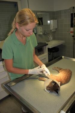 Tierärztin Dr. Sonja Müller von der Tierärztlichen Klinik Kurzeichet bei der Notfallversorgung der jungen Luchskatze. Weil das Jungtier keinen menschlichen Umgang gewöhnt ist, wurde es narkotisiert