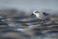 1. Preis: Edwig Vanhassel Sanderling  .   .   .   .  .  .  .  .  .Einen Sanderling im Bild einzufangen, ist nicht einfach. Wie aufgezogen flitzen die hübschen Küstenvögel am Spülsaum des Meers hin und her, um Garnelen und andere Leckereien aus dem flachen Wasser zu picken.