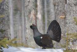 Vor allem zum Schutze der störungsempfindlichen bestandsgefährdeten Auerhühner dürfen gem. Verordnung der Regierung von Niederbayern die Kerngebiete im Nationalpark Bayerischer Wald nur auf markierten Wegen betreten werden