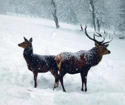 Der Rothirsch – eines der eindrucksvollsten großen Wildtiere des Bayerischen Waldes