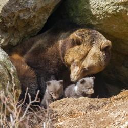 Hat ihre Jungtiere immer gut im Blick: Braunbärin Luna im Nationalpark Bayerischer Wald (Foto: NPV Bayerischer Wald/Rainer Simonis)