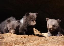 Sind gesund und munter: die drei Braunbärenjungen im Tier-Freigehe des Nationalparkzentrums Lusen im Bayerischen Wald (Foto: NPV Bayerischer Wald/Peter Auerbeck)