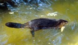 Biber im Nationalpark - mit etwas Glück auch in freier Wildbahn zu erleben. (Foto: Dr. Joswig Walter, LfU)